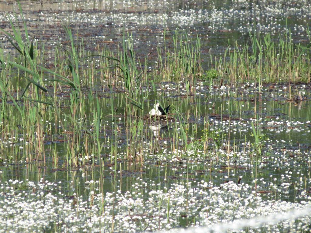 Echasse blanche sur son nid
