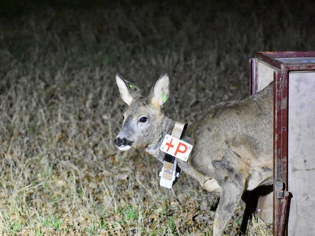 Femelle adulte de Chevreuil équipée d'un collier GPS au moment de son relâcher