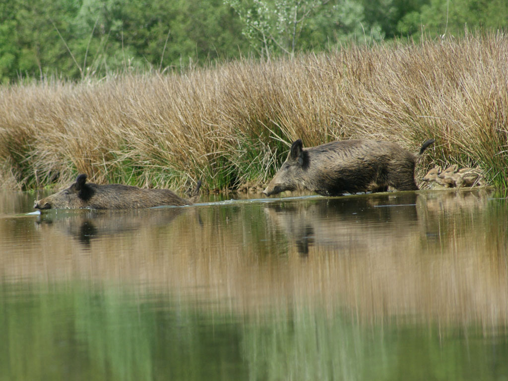 Sangliers dans l'étang Praillebard